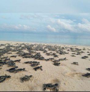 Ini Yang Dilakukan Babinsa Pulau Derawan, Menjaga Telur Penyu Hingga Jadi Tukik