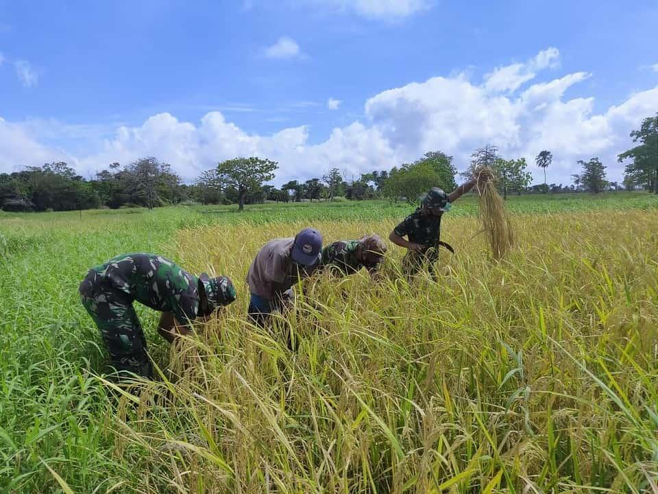 Perkokoh Kemanunggalan, Prajurit Satgas Yonif 125 Bantu Warga Panen Padi di Tapal Batas