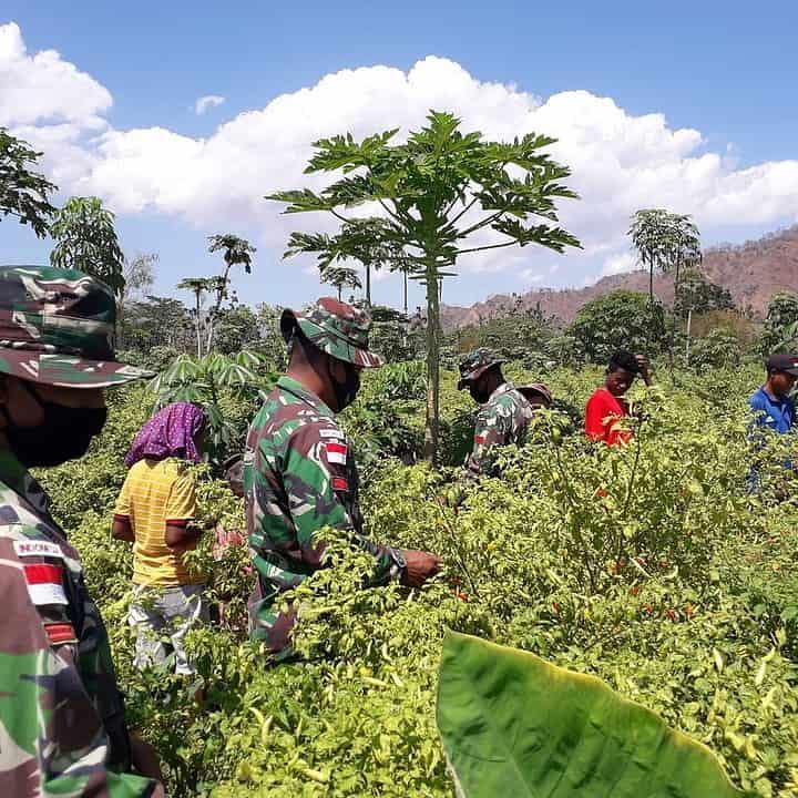 Bantu Petani Panen Cabai, Satgas Yonif RK 744 Berikan Pendampingan Berkebun