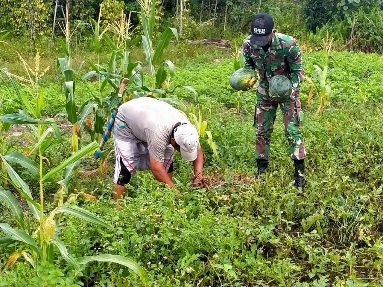 Satgas Yonif 642 Bantu Warga Temajuk Panen Sayuran