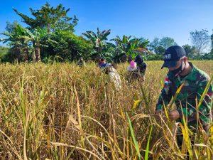 Satgas Yonif 642 Bantu Petani Desa Takek Panen Padi
