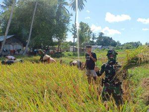 Satgas Yonarmed 6/3 Bantu Petani Desa Wejalu Panen Padi