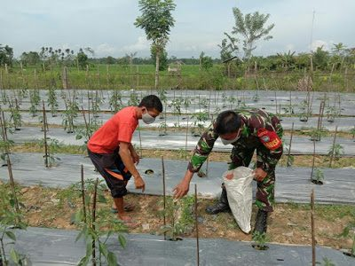 Tingkatkan Hasil Panen, Babinsa Koramil 14 TJA Dampingi Petani Cabe Desa Gampong Samakurok