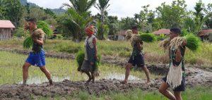 Atasi Krisis Pangan di Wilayah Perbatasan Papua, Satgas Pamtas Yonif 403/WP Gandeng Pemda dan Kelompok Tani Tanam Bibit Padi